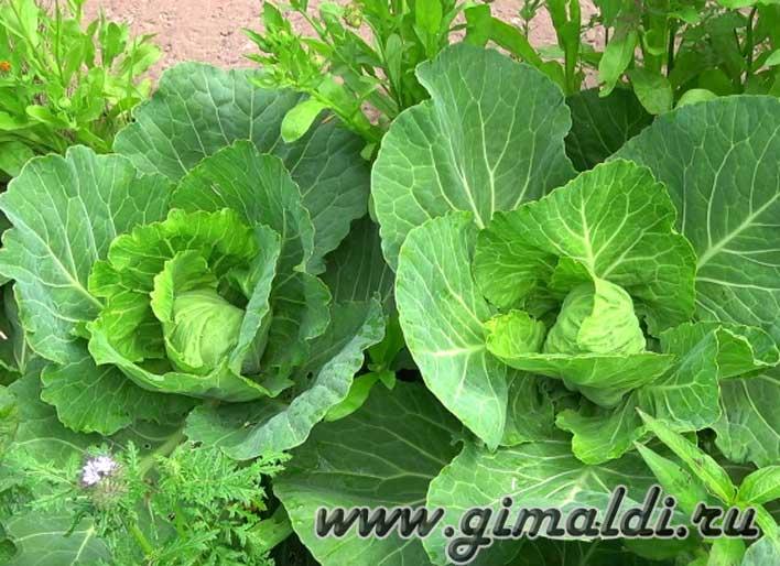Полезные свойства капусты для организма
